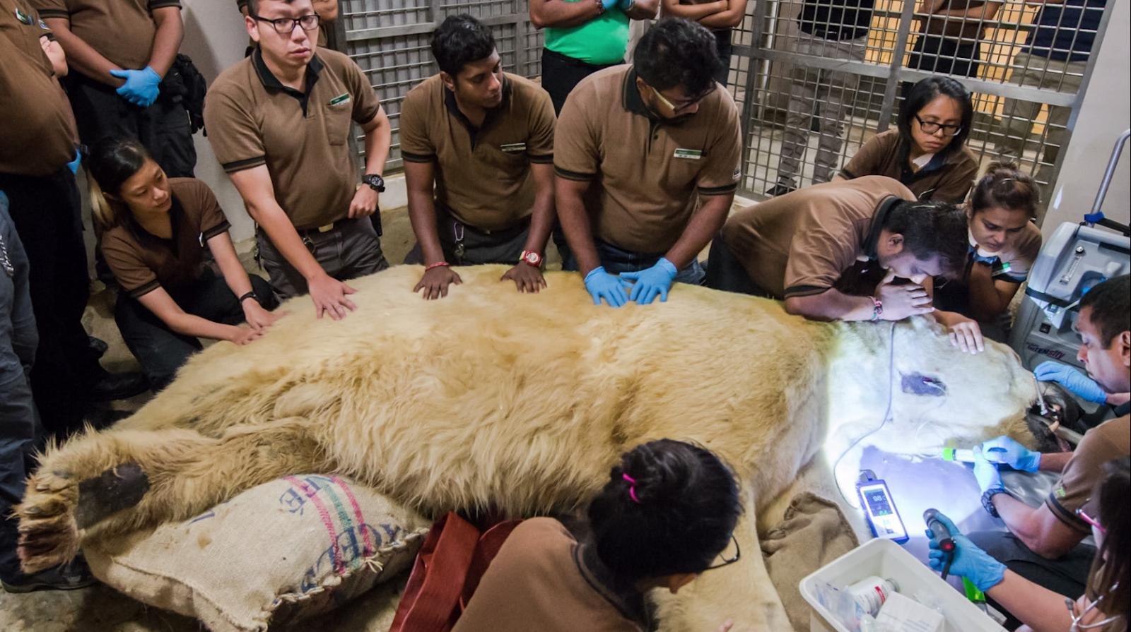 """สิงคโปร์การุณยฆาต """"หมีขั้วโลก""""ตัวแรกที่เกิดในเขตร้อน"""