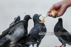 กทม.สั่ง 50 เขต คุมเข้มนกพิราบ ติดป้ายวอนงดให้อาหาร หวั่นแพร่เชื้อโรค