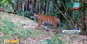 """พบ """"เสือโคร่งตัวใหญ่"""" ที่อุทยานฯคลองลาน"""