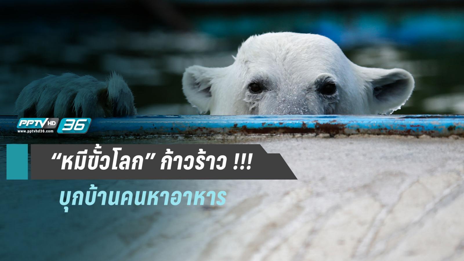 """"""" โลกร้อน !!! ทำหมีขั้วโลกหัวร้อน"""" ค้นอาคารบ้านเรือน จนต้องออกประกาศเฝ้าระวังฉุกเฉิน"""