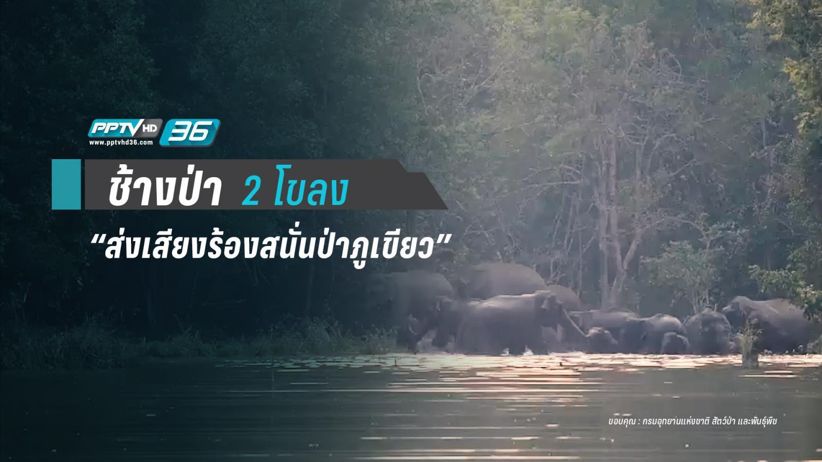ช้างป่า 2 โขลงเจอกันทักทายเสียงดังสนั่นป่าภูเขียว