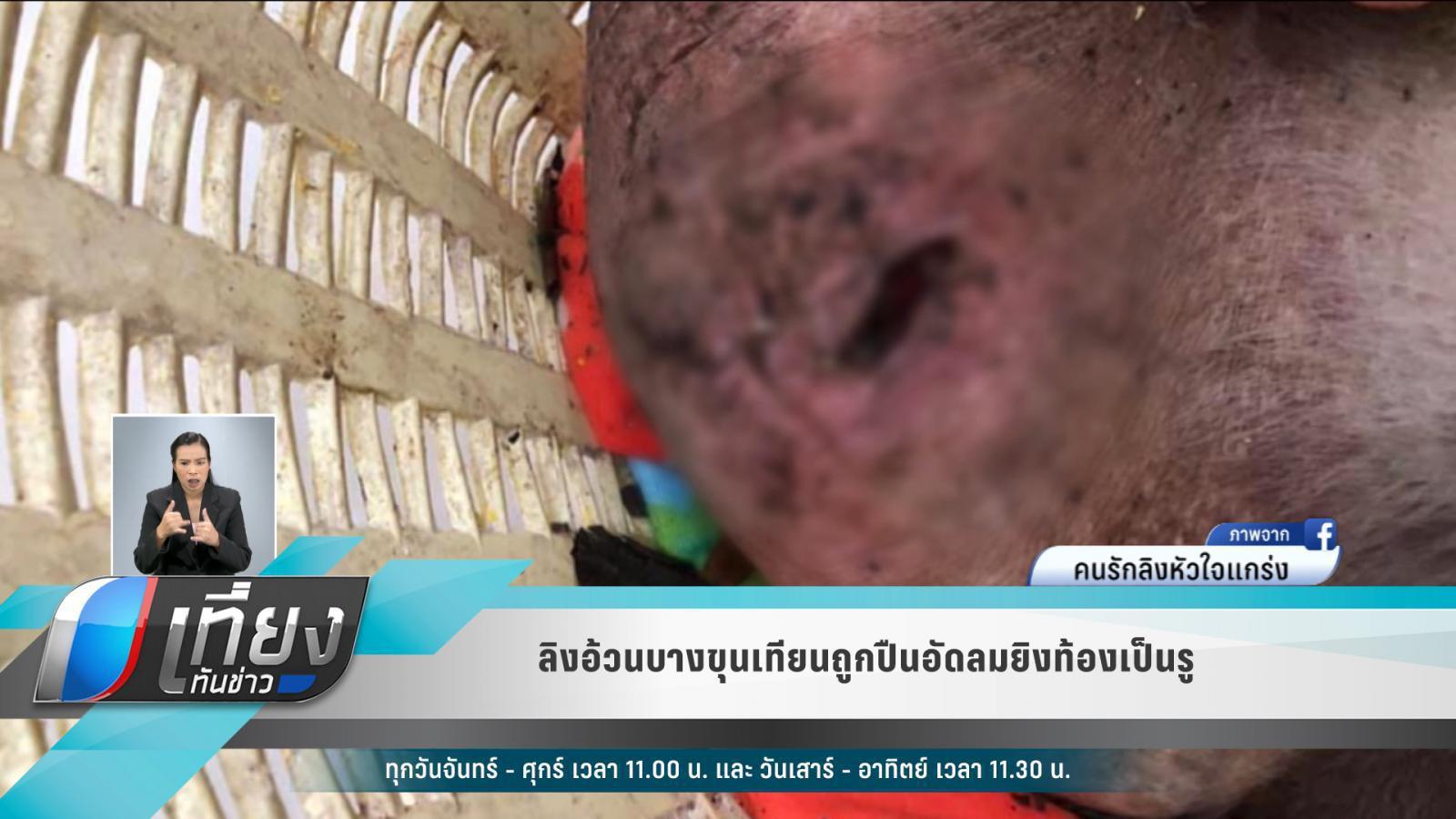 ลิงอ้วนบางขุนเทียนถูกปืนอัดลมยิงท้องเป็นรู