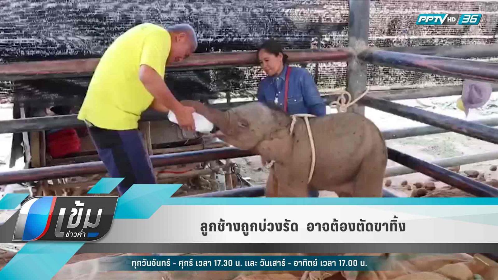 ลูกช้างถูกบ่วงรัด  อาจต้องตัดขาทิ้ง