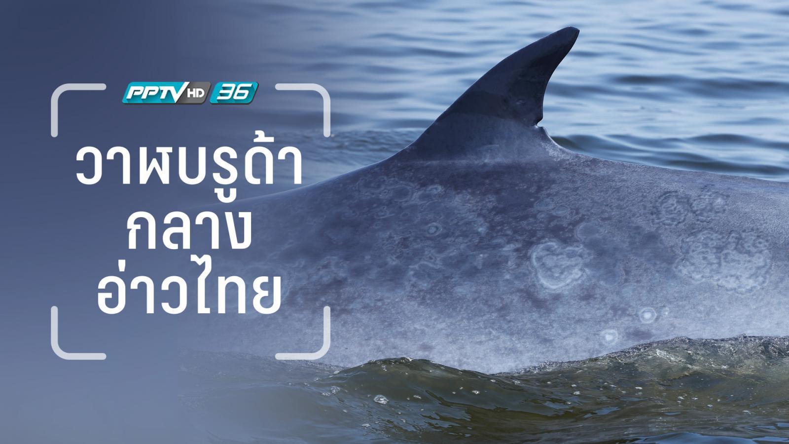 """ไม่ต้องออกทะเลไปไกล สะพายมิลเลอร์เลสไปอ่าวไทยก็เจอ """"วาฬบรูด้า"""""""