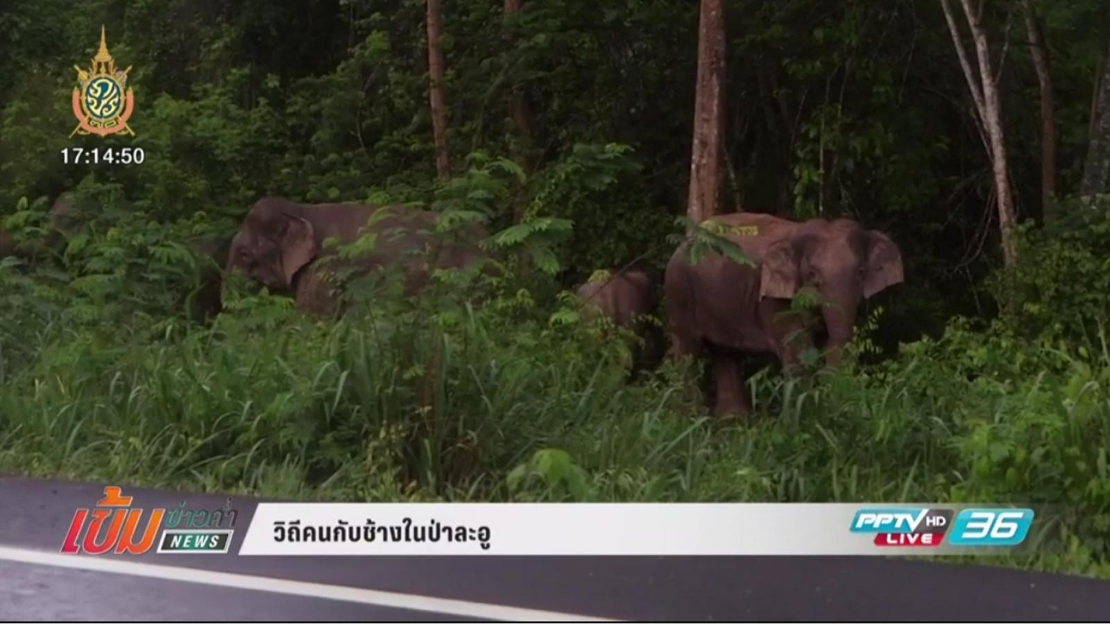วิถีคนกับช้างในป่าละอู