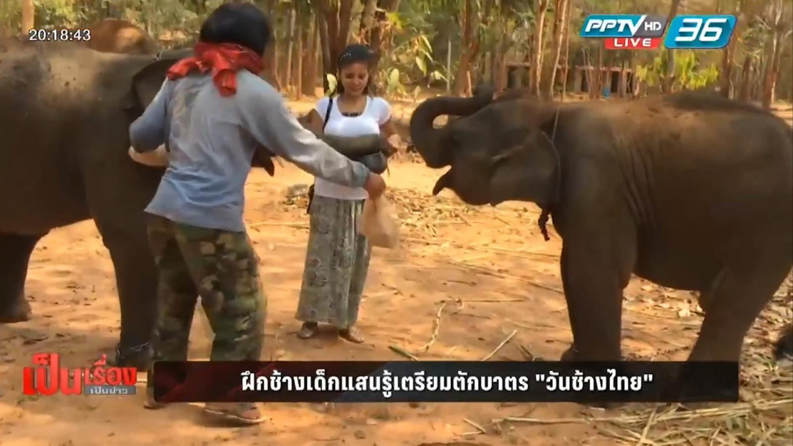 """ฝึกช้างเด็กแสนรู้เตรียมตักบาตร """"วันช้างไทย"""""""