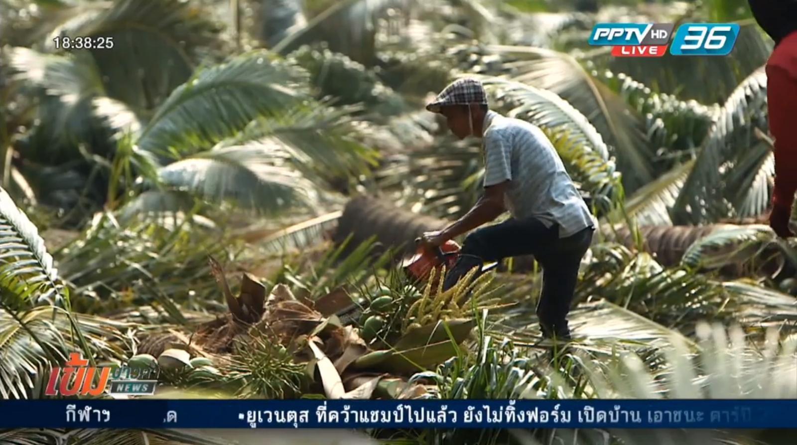 ช่วยเหลือชาวสวนมะพร้าวน้ำหอมเสียหายจากพายุ