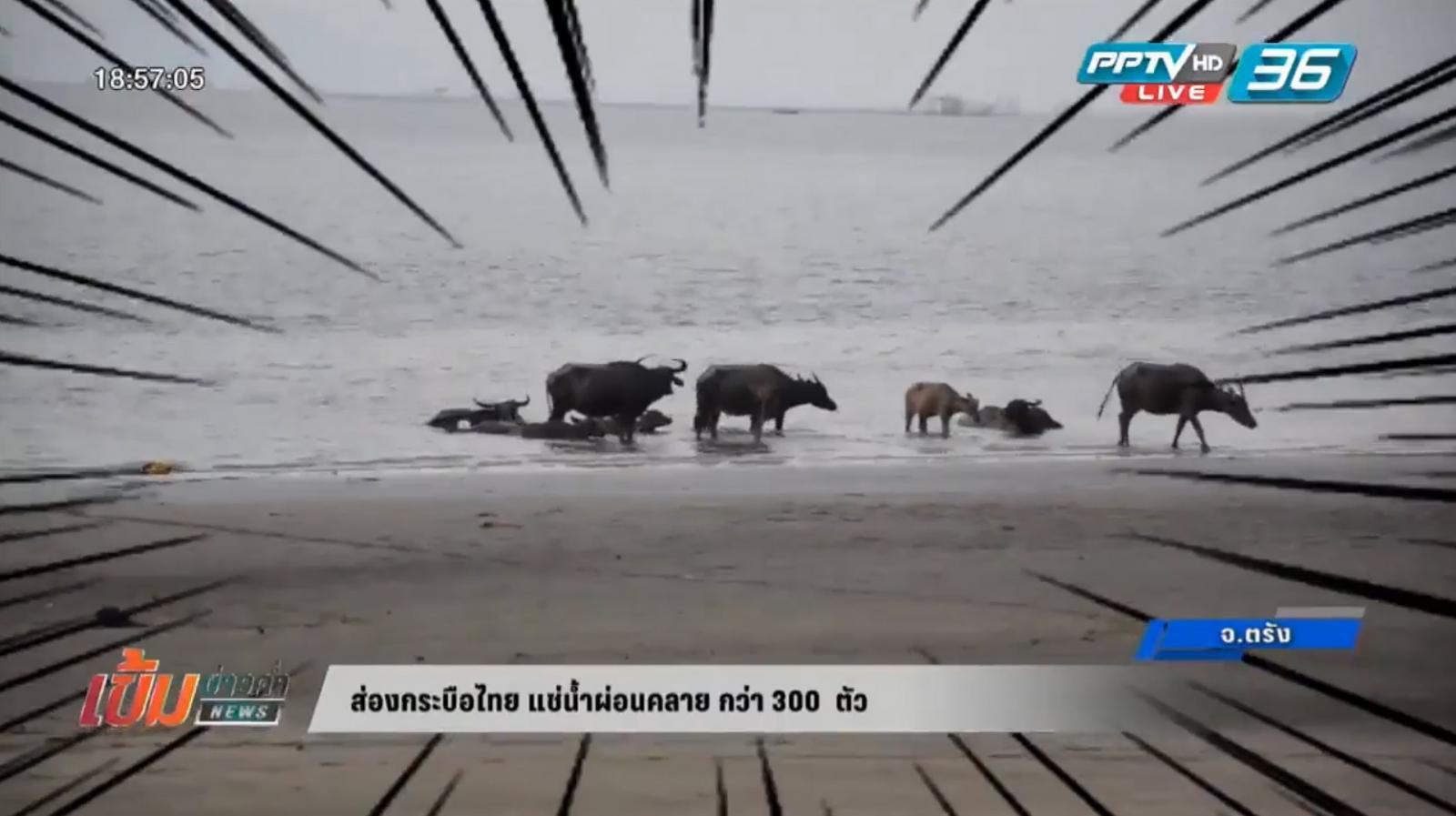 ส่องกระบือไทย แช่น้ำผ่อนคลาย กว่า 300 ตัว