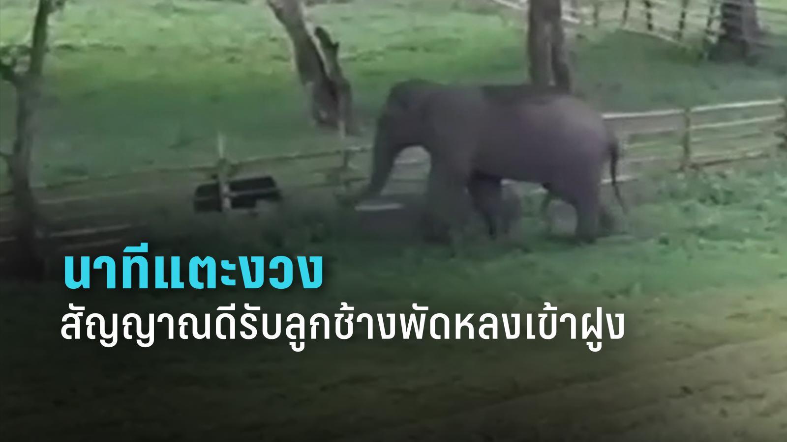 ไทม์ไลน์ นาทีลุ้น! ช้างโขลงแม่มารับลูกช้างห้วยขาแข้งพลัดหลง ถือเป็นสัญญาณดี