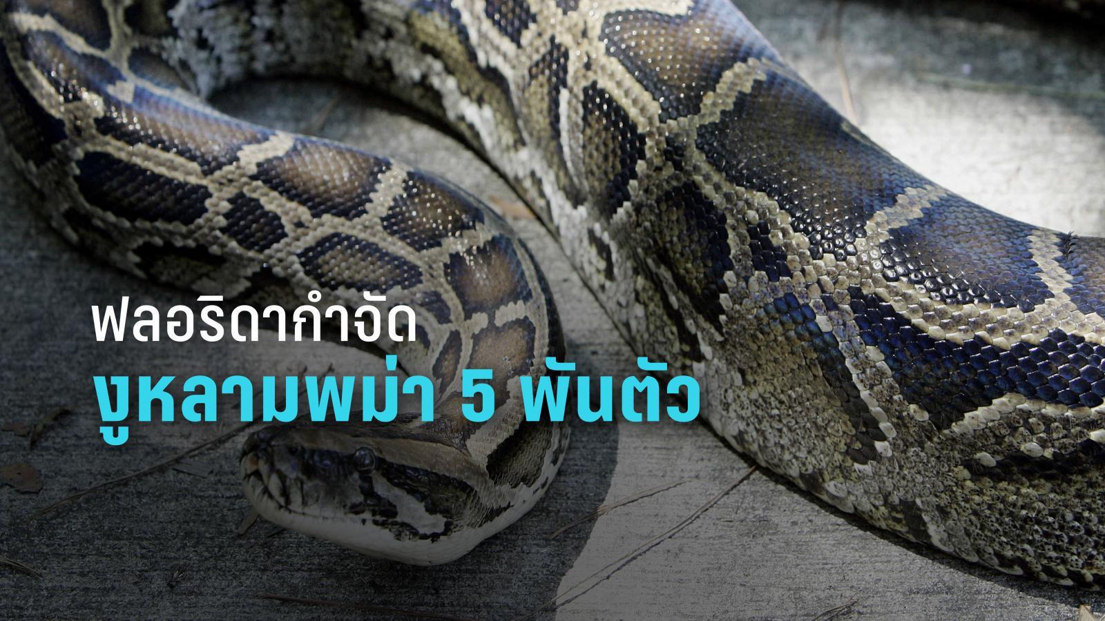 ฟลอริดากำจัดงูหลามพม่า 5,000 ตัว หวั่นทำลายระบบนิเวศ
