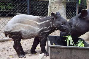 """สวนสัตว์เปิดเขาเขียว อวดโฉม """"ลูกสมเสร็จ"""" สัตว์ป่าสงวน หาชมยาก"""