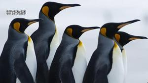 """วิจัยใหม่เผย """"เพนกวิน"""" ไม่ได้มีต้นกำเนิดในแอนตาร์กติกา"""