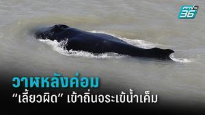 ครั้งแรกในออสเตรเลีย วาฬหลังค่อมเลี้ยวผิด เข้าถิ่นจระเข้น้ำเค็ม