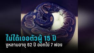 งูหลามอายุ 62 ปี ออกไข่ 7 ฟอง ทั้งที่ไม่ได้ใกล้ชิดตัวผู้มานาน 15 ปี