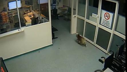 ืวงจรปิดจับภาพโคอาลางน้อยเดินสำรวจห้องแผนกฉุกเฉิน