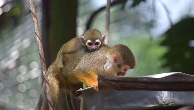 ต้อนรับสมาชิกใหม่ สวนสัตว์เปิดเขาเขียว เจ้าลิงพันธุ์จิ๋ว-ลูกลิงกระรอก