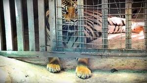 กรมอุทยาน สั่งตรวจสอบใบครอบครองเสือโคร่ง สวนสัตว์ตลาดน้ำอโยธยา