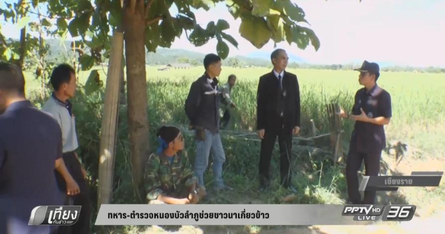 ทหาร-ตำรวจ หนองบัวลำภูช่วยชาวนาเกี่ยวข้าว