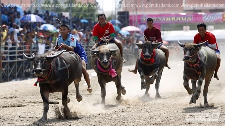 ประมวลภาพประเพณีวิ่งควาย จ.ชลบุรี ครั้งที่ 144