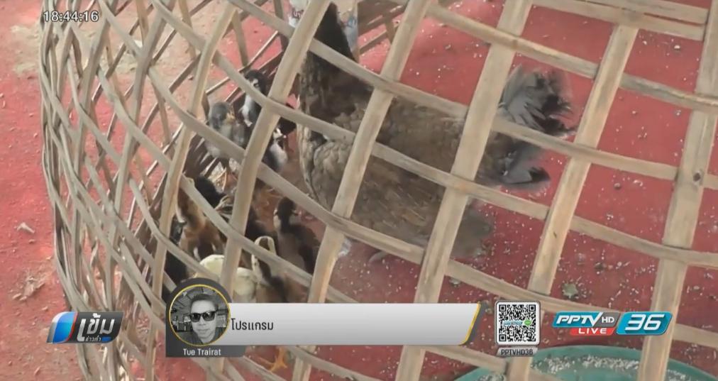 พบไก่ตายเกือบ 5,000 ตัว หวั่นไข้หวัดนกระบาด
