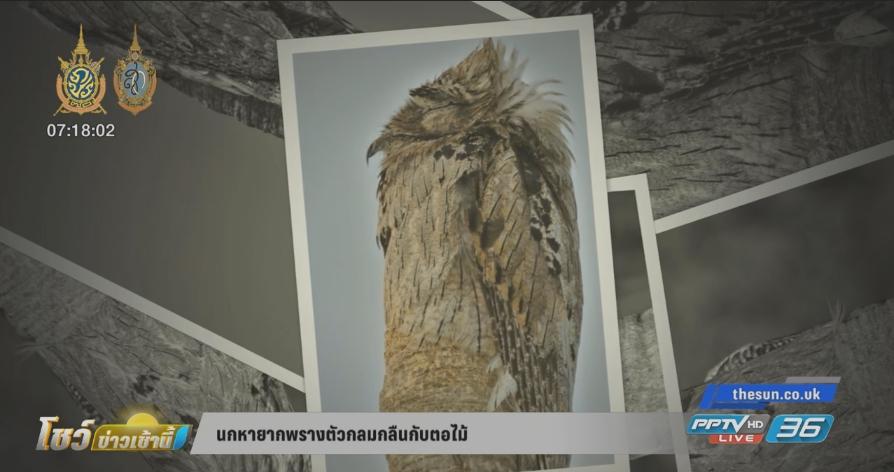 นกหายากพรางตัวกลมกลืนกับตอไม้