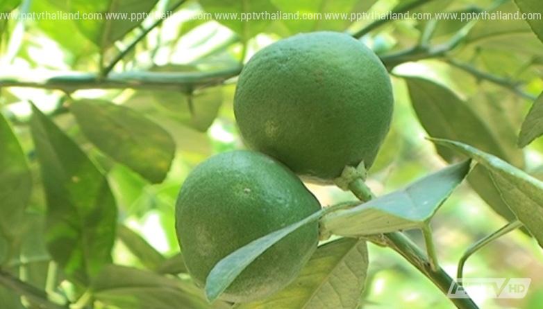 """เกษตรกรไทยเจ๋ง พัฒนาสายพันธุ์มะนาว """"แก้ขัด"""" กินได้ทั้งลูก!"""