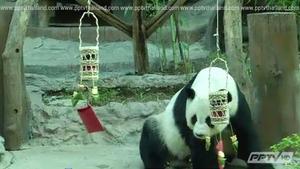 เชียงใหม่เลี้ยงขนมตรุษจีน 2 แพนด้ายักษ์-ฉลองสัมพันธ์ไทย-จีน 40 ปี