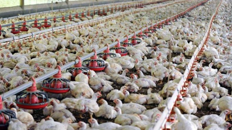 สหรัฐฯ ประกาศภาวะฉุกเฉินสั่งฆ่าไก่ 5 ล้านตัว หลังพบไข้หวัดนก H5N2 ระบาด