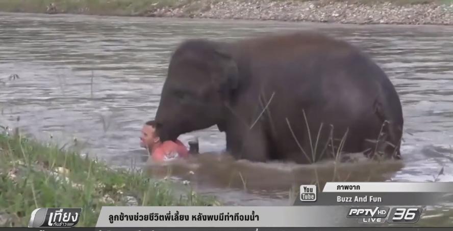 ลูกช้างช่วยชีวิตพี่เลี้ยง หลังพบมีท่าทีจมน้ำ (คลิป)