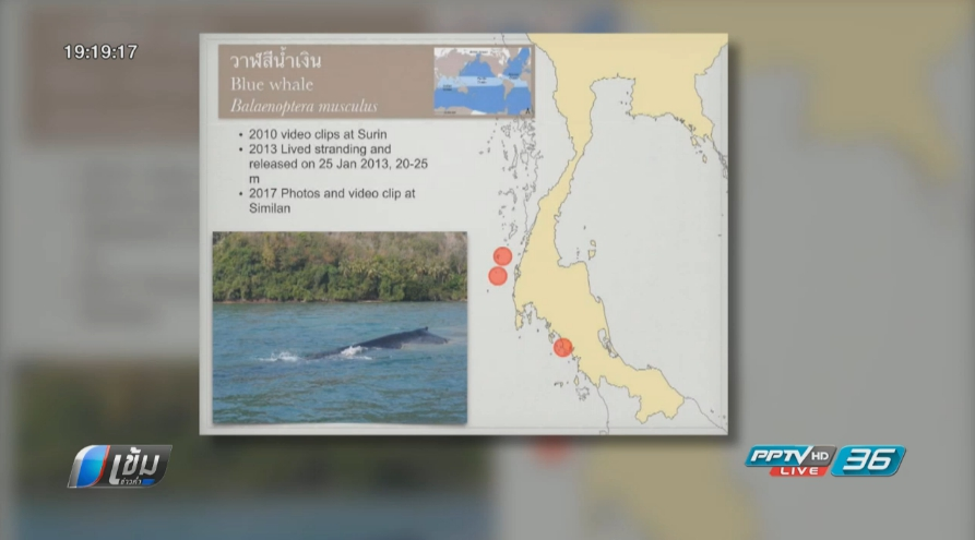 พบวาฬสีน้ำเงิน บริเวณเกาะสิมิลัน