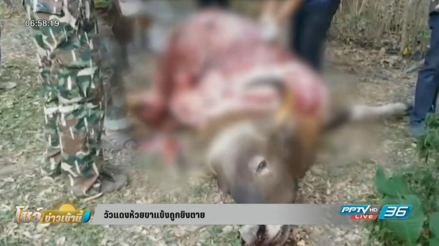 วัวแดงห้วยขาแข้งถูกพรานป่ายิงเสียชีวิต