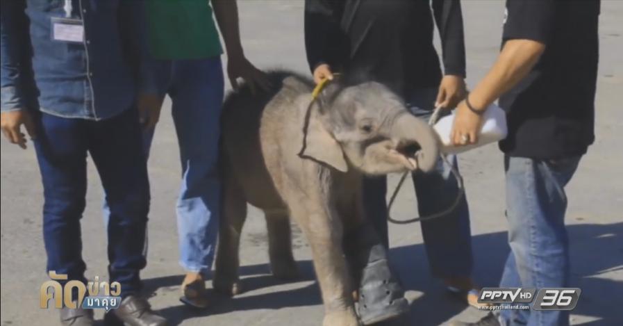 """รับขวัญลูกช้างเชือกที่ 64 ตั้งชื่อ """"พังนอร่า""""(คลิป)"""
