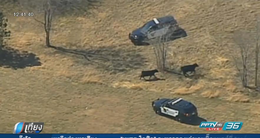 ตำรวจแคนซัสป่วน ไล่จับวัวกว่า 50 ตัว