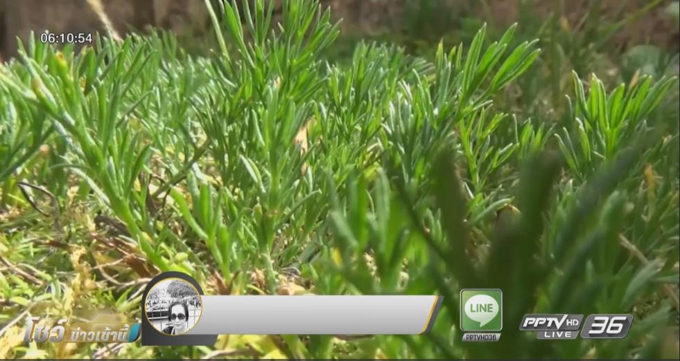 พบหญ้าหอมหายากบนยอดดอยอินทนนท์ จ.เชียงใหม่