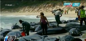 วาฬเกยตื้นหาดออสเตรเลียเหลือรอดแค่ 6 ตัว