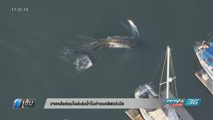 วาฬหลังค่อมโผล่เล่นน้ำในอ่าวแคลิฟอร์เนีย