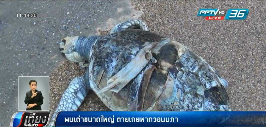 พบเต่าขนาดใหญ่ ตายเกยหาดวอนนภา