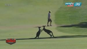 """สุดน่ารัก! """"จิงโจ้"""" แลกหมัดกลางสนามกอล์ฟ งานยูโรเปียนทัวร์ออสเตรเลีย"""