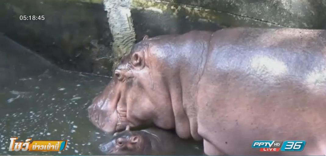 สวนสัตว์เปิดเขาเขียวต้อนรับลูกฮิปโปเกิดใหม่