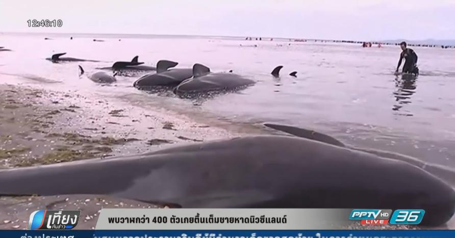 พบวาฬกว่า 400 ตัวเกยตื้นเต็มชายหาดนิวซีแลนด์ (คลิป)