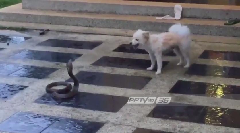 แนะวิธีป้องกันงูเข้าบ้าน หลังสุนัขสู้กับงูเห่าจนตาย