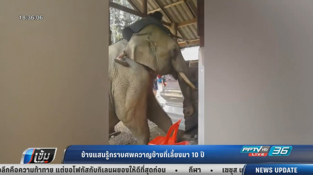 ซึ้ง! ช้างแสนรู้กราบศพควาญช้างที่เลี้ยงมา 10 ปี