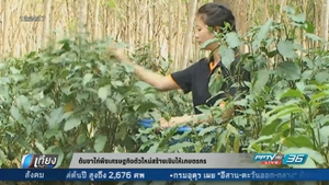 ต้นขาไก่พืชเศรษฐกิจตัวใหม่สร้างเงินให้เกษตรกร