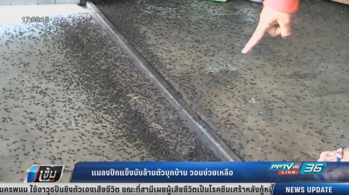 ทนอยู่ไม่ไหว! แมลงปีกแข็งนับล้านตัวบุกบ้านวอนช่วยเหลือ