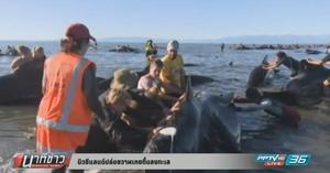 นิวซีแลนด์ปล่อยวาฬเกยตื้นลงทะเล