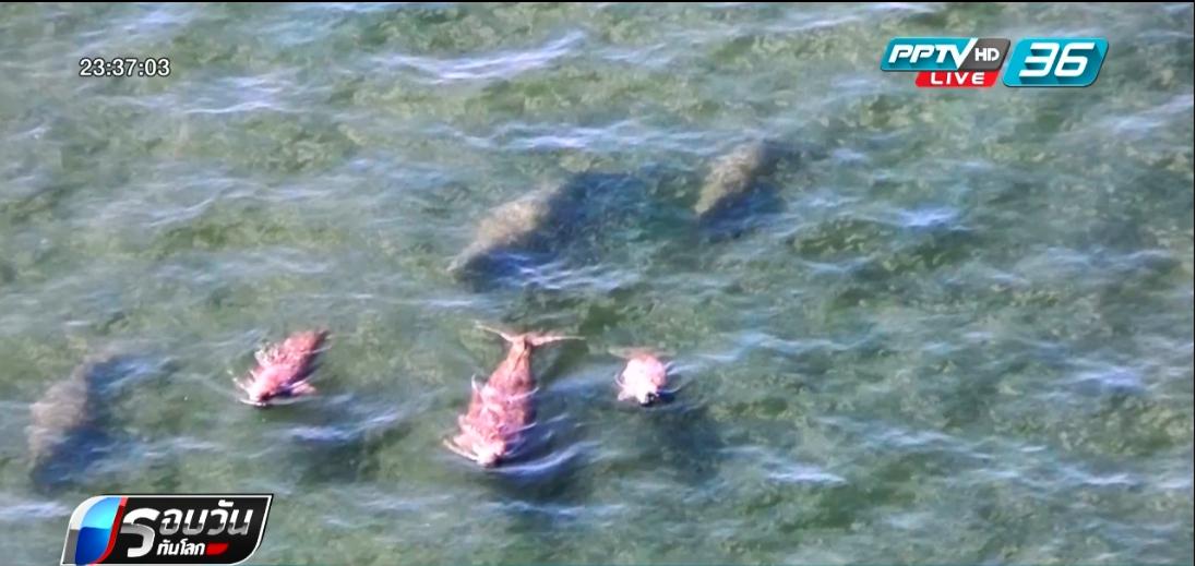 สำรวจทะเลตรัง พบพะยูนเพิ่มขึ้นกว่า 200 ตัว