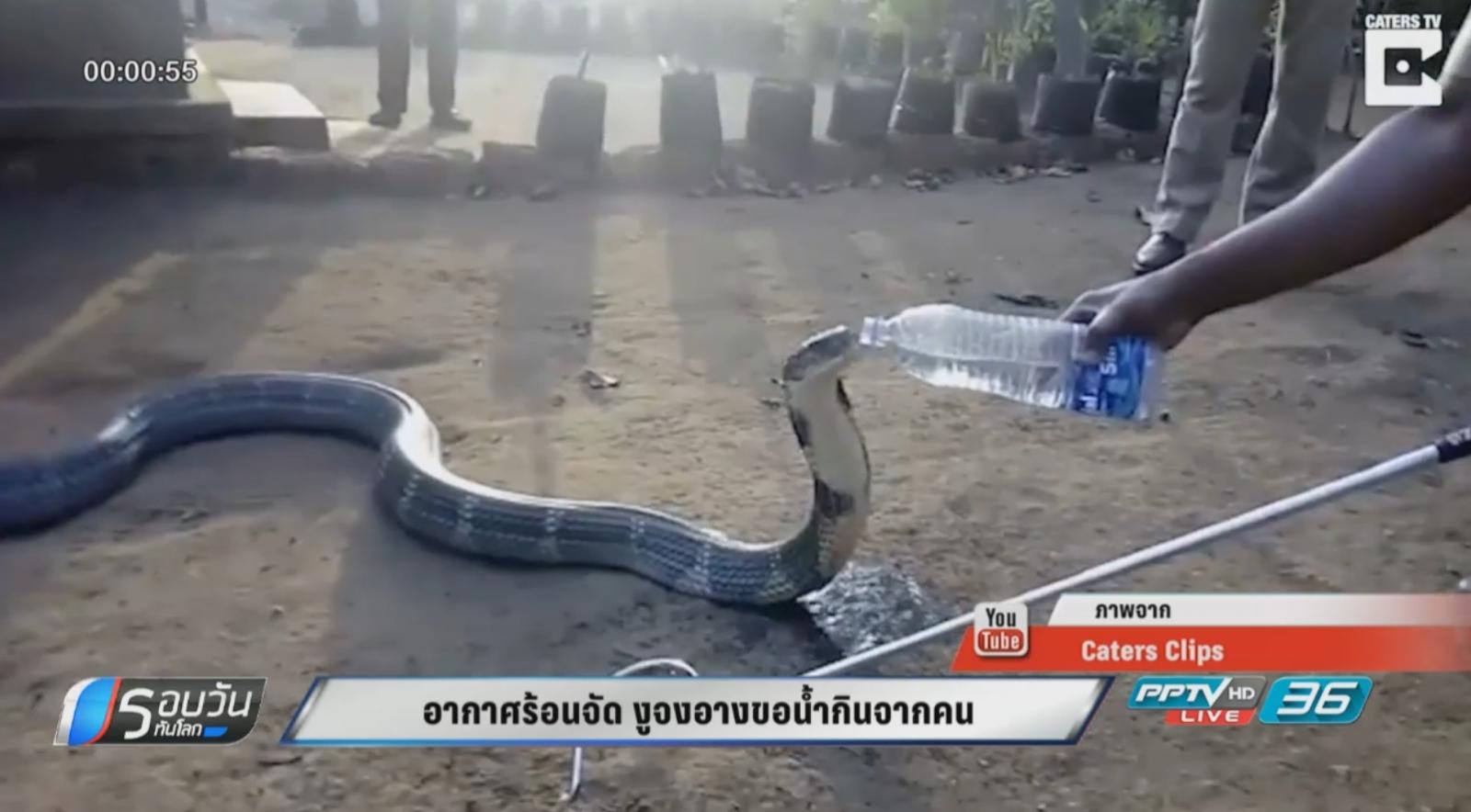 อากาศร้อนจัด งูจงอางขอน้ำกินจากคน