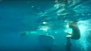 """ฉลามวาฬ โผล่ """"พีพี"""" ว่ายน้ำเล่นกับนักดำน้ำ"""