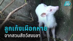ผอ.สวนสัตว์ฯ ชี้ สวนสัตว์สงขลาหละหลวมทำลูกเก้งเผือกหาย