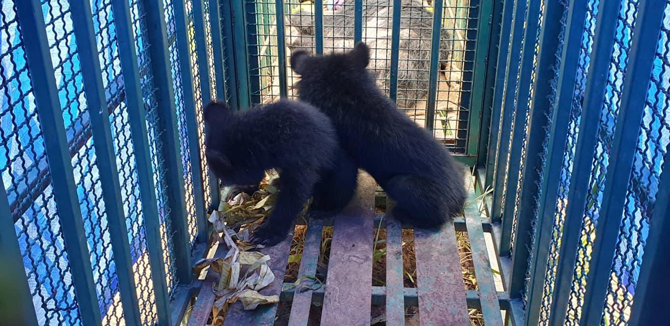 """ปฏิบัติการณ์ตามหาครอบครัว """"หมีควาย 3 แม่ลูก"""" ก่อนส่งคืนสู่ป่า"""